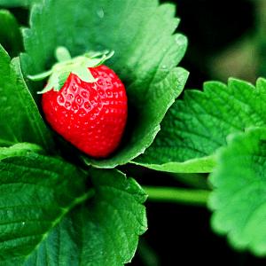 La fresa es la fruta reina de la primavera